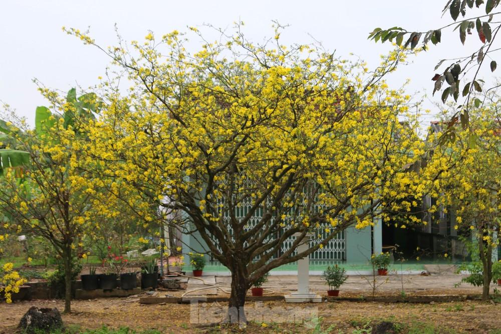 Hai cây mai cổ thụ tiền tỉ ở Đồng Tháp