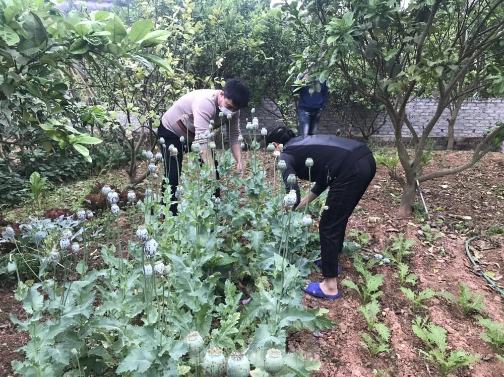 Bắc Giang: Nhiều hộ ''trồng cây thuốc phiện để làm rau ăn''