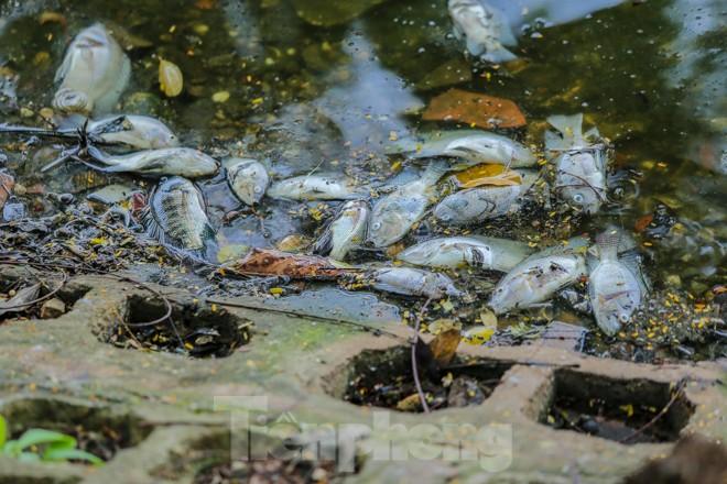 Cá chết hàng loạt tại hồ Trúc Bạch - ảnh 1
