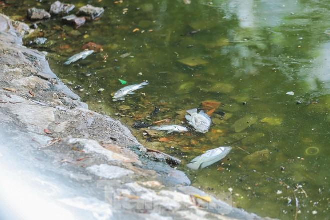 Cá chết hàng loạt tại hồ Trúc Bạch - ảnh 2