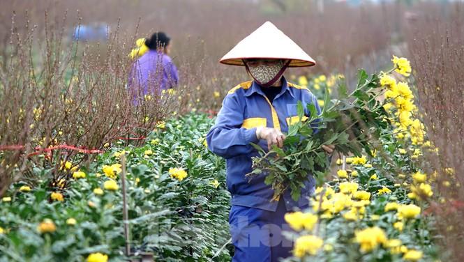 Cúc vàng Nhật Tân 7.000 đồng một bông hối hả xuống phố ngày mồng Một cuối năm - ảnh 1