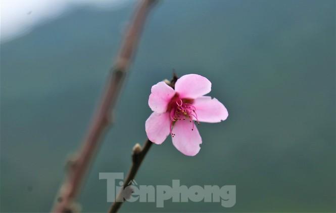 Ngắm hoa đào khoe sắc trên