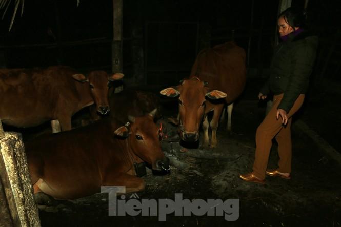 Gần 200 con gia súc ở miền núi Nghệ An bị chết rét - ảnh 1