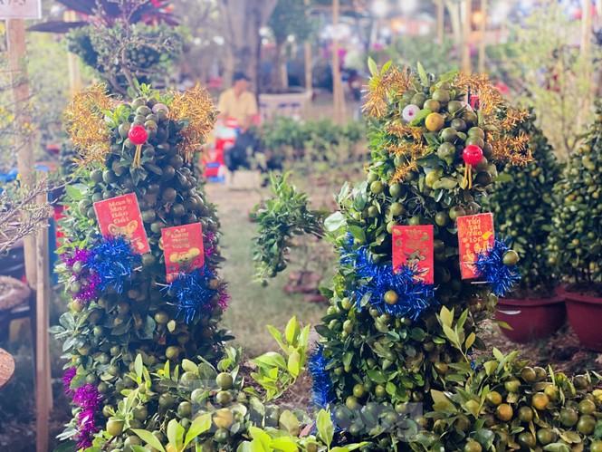 Quất cảnh hình chuột khan hiếm ở chợ hoa Sài Gòn - ảnh 1