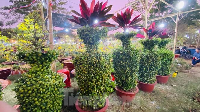 Quất cảnh hình chuột khan hiếm ở chợ hoa Sài Gòn - ảnh 7