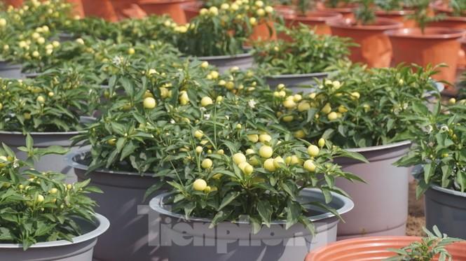 Nhà vườn TPHCM thấp thỏm vụ hoa Tết - ảnh 8