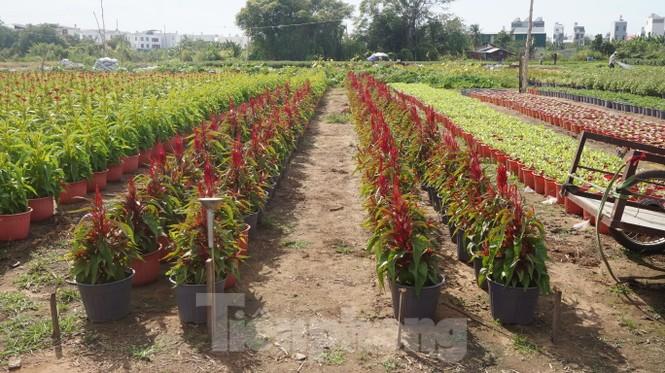 Nhà vườn TPHCM thấp thỏm vụ hoa Tết - ảnh 9
