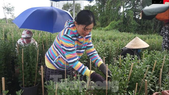 Nhà vườn TPHCM thấp thỏm vụ hoa Tết - ảnh 12