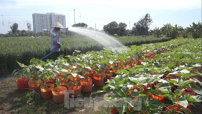 Nhà vườn TPHCM thấp thỏm vụ hoa Tết - ảnh 6