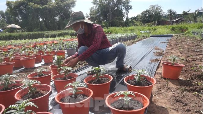 Nhà vườn TPHCM thấp thỏm vụ hoa Tết - ảnh 5