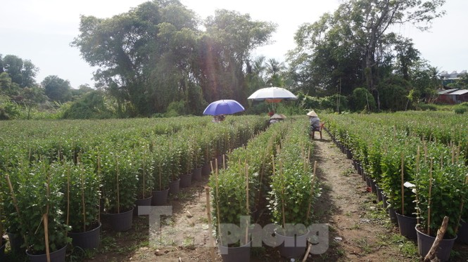 Nhà vườn TPHCM thấp thỏm vụ hoa Tết - ảnh 10