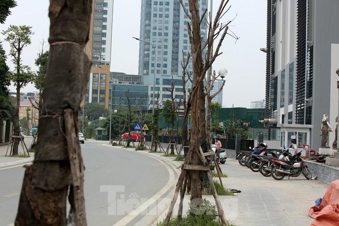 Hàng loạt cây trồng chết khô trên trục đường Cầu Giấy - Dương Đình Nghệ - ảnh 4