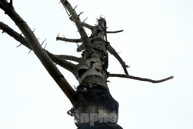 Hàng loạt cây trồng chết khô trên trục đường Cầu Giấy - Dương Đình Nghệ - ảnh 3