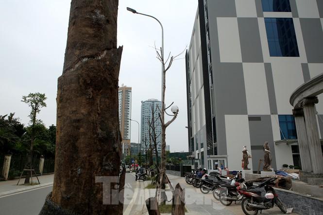 Hàng loạt cây trồng chết khô trên trục đường Cầu Giấy - Dương Đình Nghệ - ảnh 6