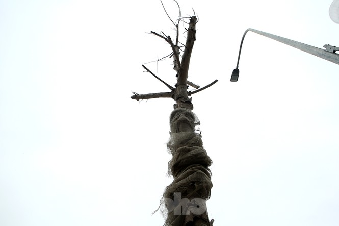 Hàng loạt cây trồng chết khô trên trục đường Cầu Giấy - Dương Đình Nghệ - ảnh 5