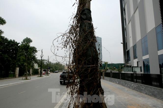 Hàng loạt cây trồng chết khô trên trục đường Cầu Giấy - Dương Đình Nghệ - ảnh 7