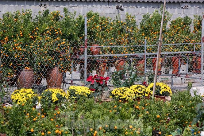 Vựa hoa cây cảnh lớn nhất miền bắc vào vụ Tết - ảnh 6