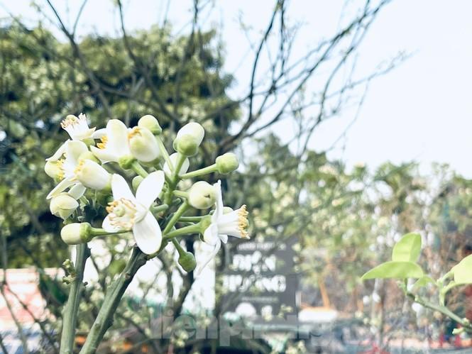 Dân Hà Thành trưng cả cây bưởi thay vì chỉ mua hoa cân như xưa - ảnh 4