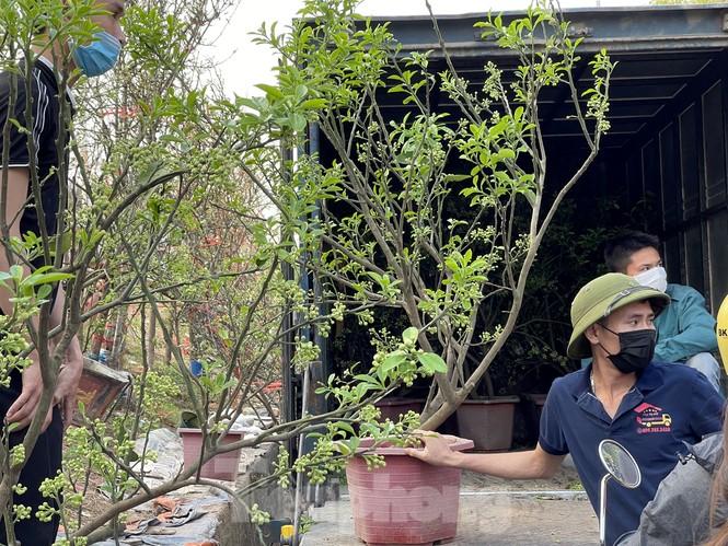 Dân Hà Thành trưng cả cây bưởi thay vì chỉ mua hoa cân như xưa - ảnh 3