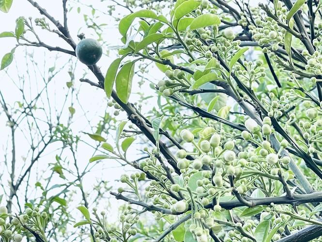 Dân Hà Thành trưng cả cây bưởi thay vì chỉ mua hoa cân như xưa - ảnh 2