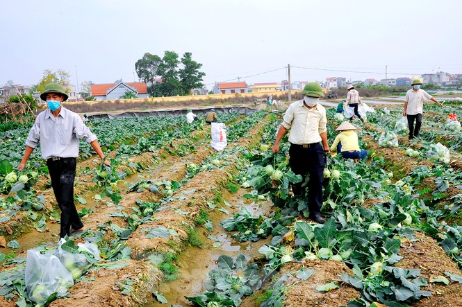 Hải Dương: Thu hoạch nông sản trong vùng phong tỏa COVID-19 - ảnh 2