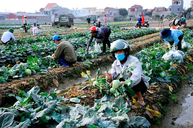 Hải Dương: Thu hoạch nông sản trong vùng phong tỏa COVID-19 - ảnh 3