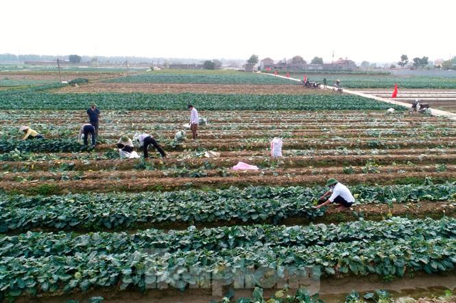 Hải Dương: Thu hoạch nông sản trong vùng phong tỏa COVID-19 - ảnh 1