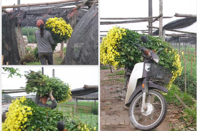 Người dân làng Tây Tựu phấn khởi vì giá hoa 'hồi sinh' - ảnh 11