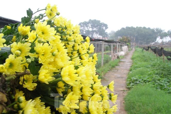 Người dân làng Tây Tựu phấn khởi vì giá hoa 'hồi sinh' - ảnh 9