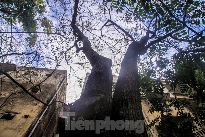 Nhiều cây sưa nghi bị đầu độc chỉ còn là cành củi khô và lá xác xơ - ảnh 2