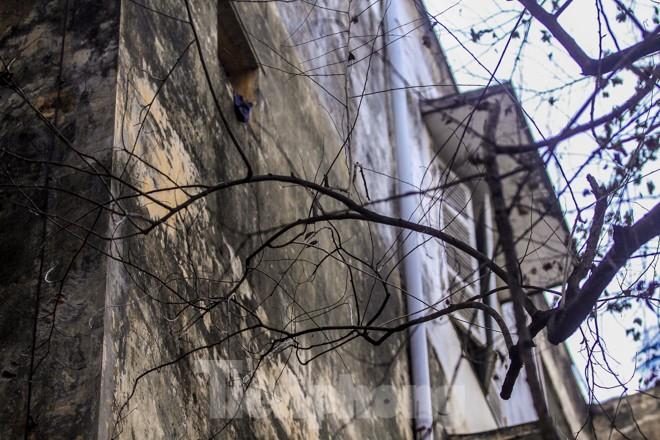 Nhiều cây sưa nghi bị đầu độc chỉ còn là cành củi khô và lá xác xơ - ảnh 3