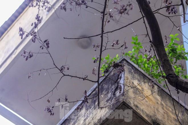 Nhiều cây sưa nghi bị đầu độc chỉ còn là cành củi khô và lá xác xơ - ảnh 5