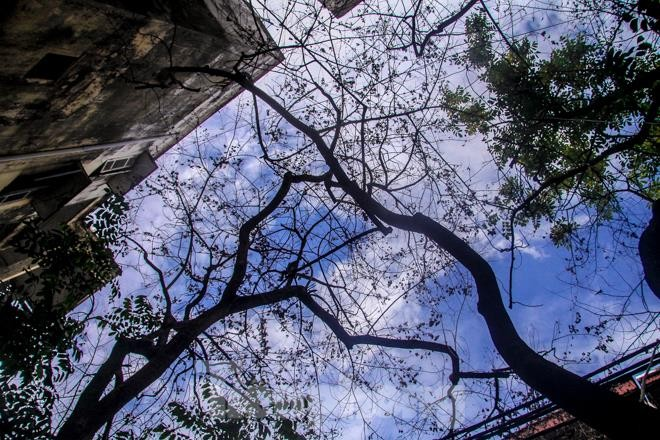 Nhiều cây sưa nghi bị đầu độc chỉ còn là cành củi khô và lá xác xơ - ảnh 7