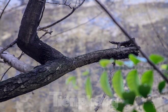 Nhiều cây sưa nghi bị đầu độc chỉ còn là cành củi khô và lá xác xơ - ảnh 8