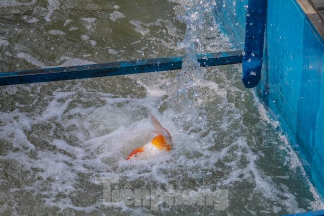 Thả cá Koi Nhật Bản xuống sông Tô Lịch và Hồ Tây - ảnh 8