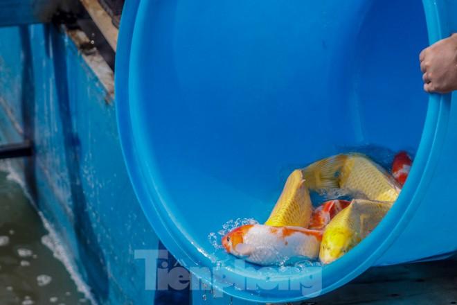 Thả cá Koi Nhật Bản xuống sông Tô Lịch và Hồ Tây - ảnh 6