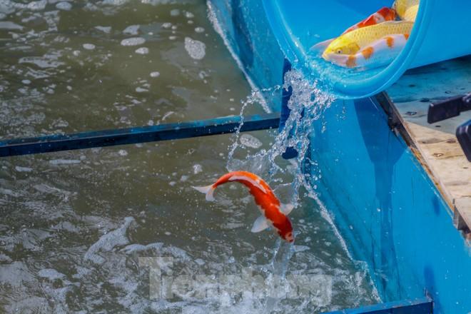 Thả cá Koi Nhật Bản xuống sông Tô Lịch và Hồ Tây - ảnh 7