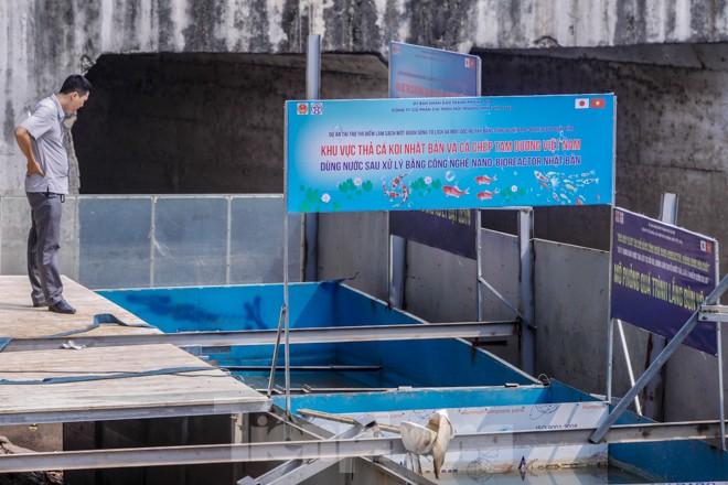 Thả cá Koi Nhật Bản xuống sông Tô Lịch và Hồ Tây - ảnh 1