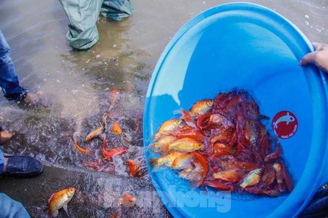Thả cá Koi Nhật Bản xuống sông Tô Lịch và Hồ Tây - ảnh 11