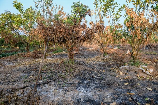 Vườn cây ăn quả bị đốt trụi cận Tết, người dân Hưng Yên khóc ròng - ảnh 2