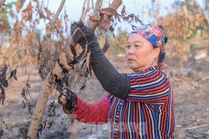 Vườn cây ăn quả bị đốt trụi cận Tết, người dân Hưng Yên khóc ròng - ảnh 3
