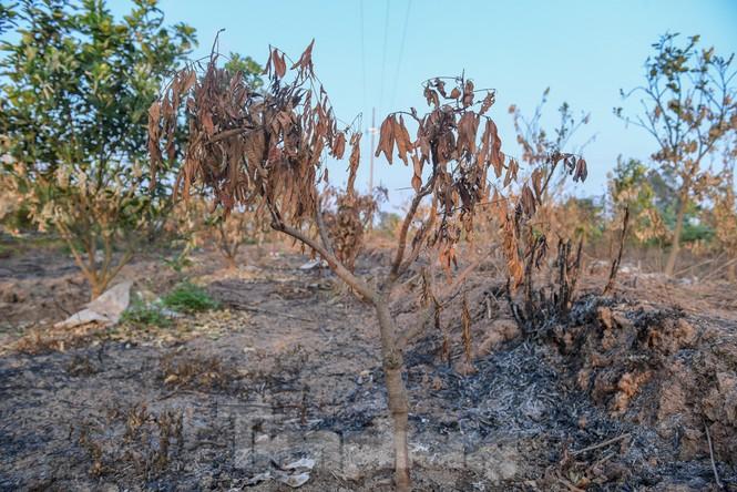 Vườn cây ăn quả bị đốt trụi cận Tết, người dân Hưng Yên khóc ròng - ảnh 7