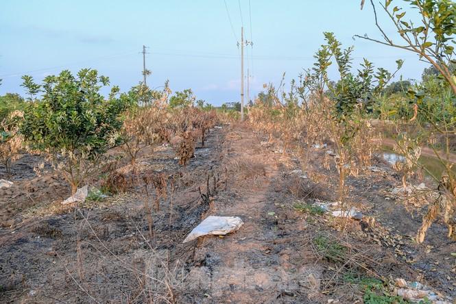 Vườn cây ăn quả bị đốt trụi cận Tết, người dân Hưng Yên khóc ròng - ảnh 8