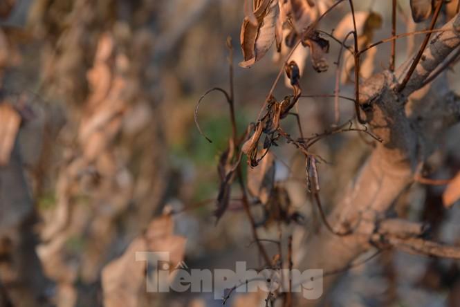 Vườn cây ăn quả bị đốt trụi cận Tết, người dân Hưng Yên khóc ròng - ảnh 9