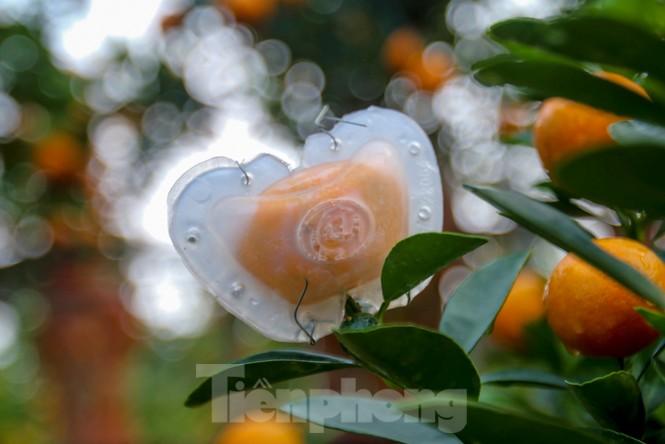 Quất bonsai có quả hình 'đĩnh vàng' hút khách ở Hà Nội - ảnh 11