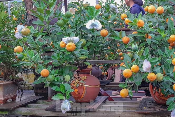 Quất bonsai có quả hình 'đĩnh vàng' hút khách ở Hà Nội - ảnh 1