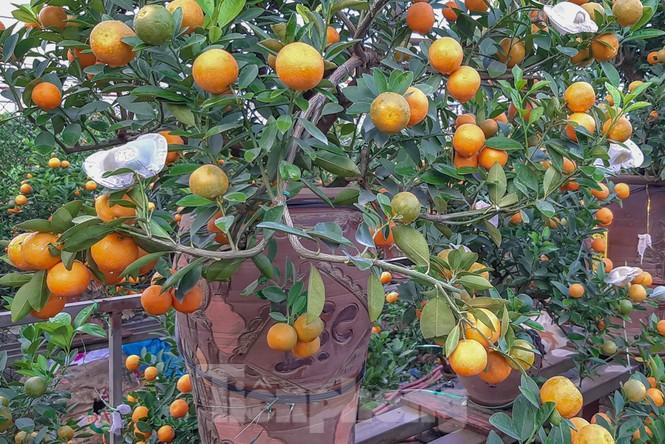 Quất bonsai có quả hình 'đĩnh vàng' hút khách ở Hà Nội - ảnh 2