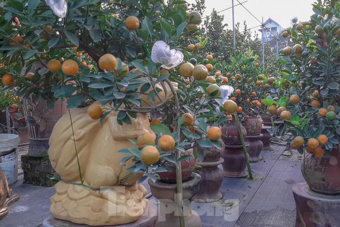 Quất bonsai có quả hình 'đĩnh vàng' hút khách ở Hà Nội - ảnh 3