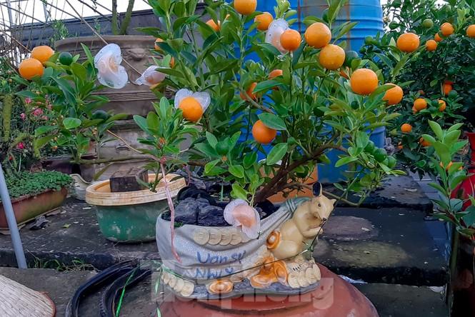 Quất bonsai có quả hình 'đĩnh vàng' hút khách ở Hà Nội - ảnh 4