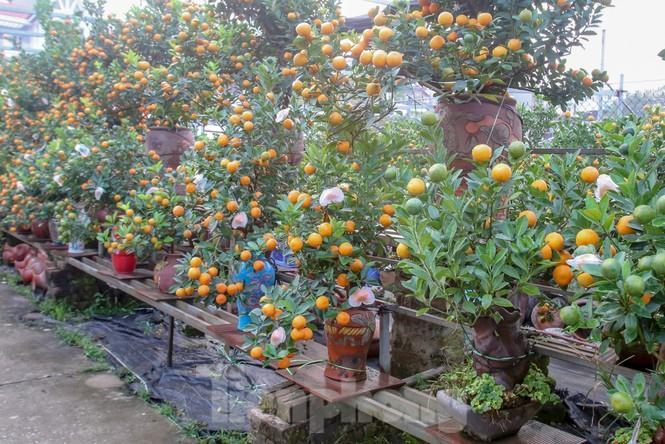 Quất bonsai có quả hình 'đĩnh vàng' hút khách ở Hà Nội - ảnh 5